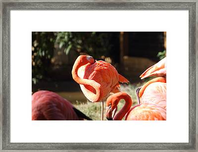 National Zoo - Flamingo - 01135 Framed Print by DC Photographer