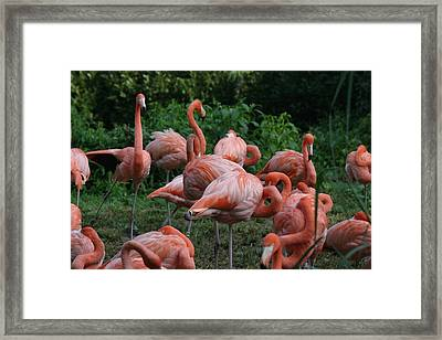 National Zoo - Flamingo - 12123 Framed Print by DC Photographer