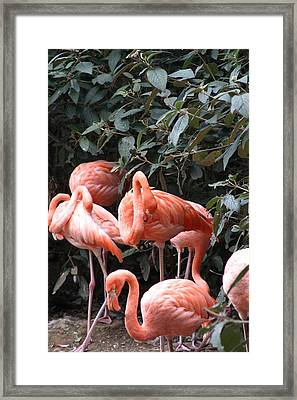 National Zoo - Flamingo - 12124 Framed Print by DC Photographer