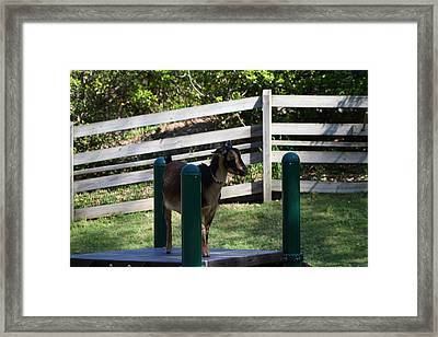 National Zoo - Goat - 01135 Framed Print by DC Photographer