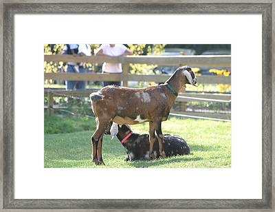 National Zoo - Goat - 12121 Framed Print by DC Photographer