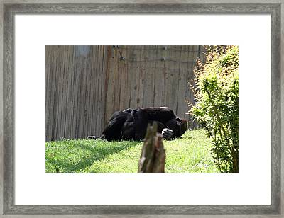 National Zoo - Gorilla - 011314 Framed Print by DC Photographer