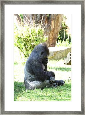 National Zoo - Gorilla - 011320 Framed Print by DC Photographer