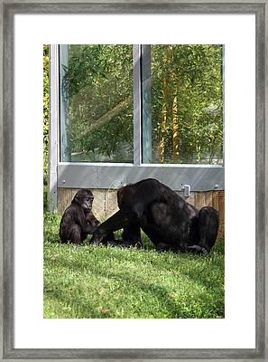 National Zoo - Gorilla - 011328 Framed Print