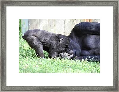National Zoo - Gorilla - 011330 Framed Print