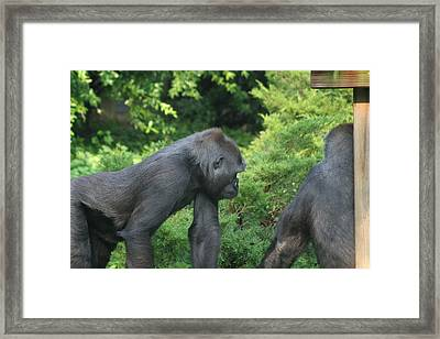 National Zoo - Gorilla - 12121 Framed Print by DC Photographer