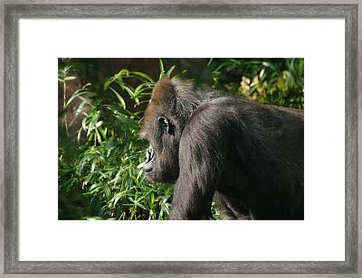 National Zoo - Gorilla - 121212 Framed Print by DC Photographer