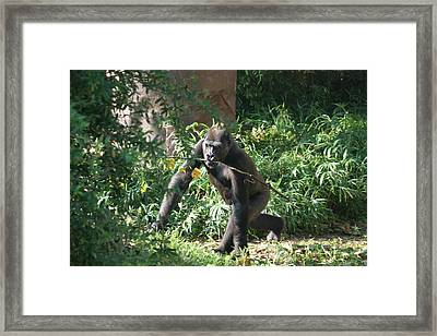 National Zoo - Gorilla - 121220 Framed Print by DC Photographer