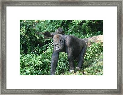 National Zoo - Gorilla - 121229 Framed Print by DC Photographer