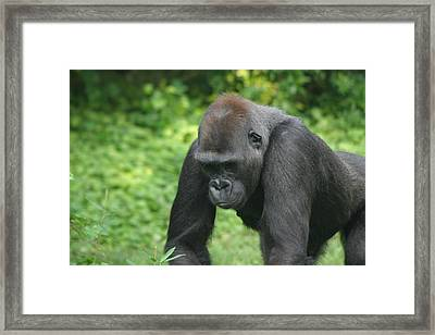 National Zoo - Gorilla - 121237 Framed Print