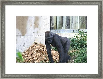 National Zoo - Gorilla - 121242 Framed Print by DC Photographer