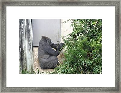 National Zoo - Gorilla - 121244 Framed Print by DC Photographer