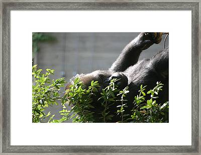 National Zoo - Gorilla - 121249 Framed Print by DC Photographer