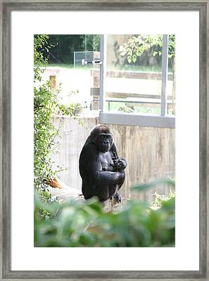 National Zoo - Gorilla - 121264 Framed Print by DC Photographer