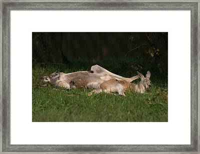 National Zoo - Kangaroo - 12122 Framed Print