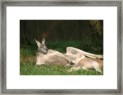 National Zoo - Kangaroo - 12123 Framed Print