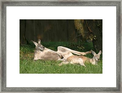 National Zoo - Kangaroo - 12124 Framed Print