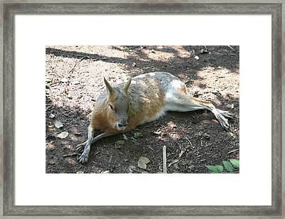 National Zoo - Kangaroo - 12126 Framed Print