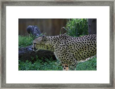 National Zoo - Leopard - 011323 Framed Print by DC Photographer