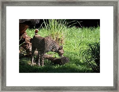 National Zoo - Leopard - 01136 Framed Print