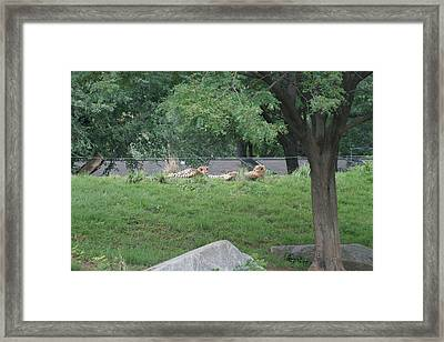 National Zoo - Leopard - 12121 Framed Print by DC Photographer