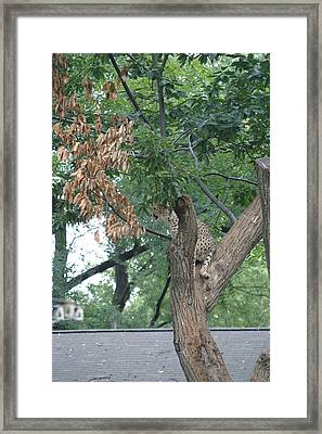 National Zoo - Leopard - 12124 Framed Print by DC Photographer