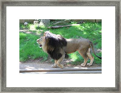 National Zoo - Lion - 01131 Framed Print by DC Photographer