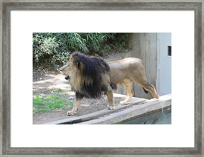 National Zoo - Lion - 011310 Framed Print by DC Photographer