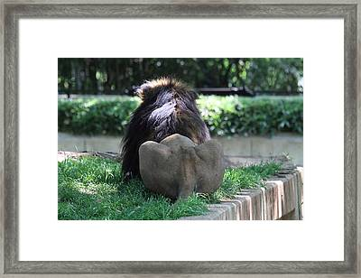 National Zoo - Lion - 011314 Framed Print by DC Photographer