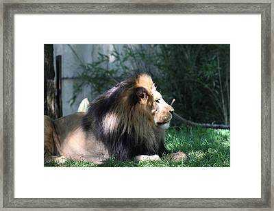 National Zoo - Lion - 011318 Framed Print by DC Photographer