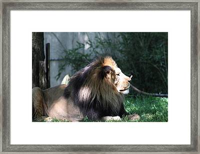 National Zoo - Lion - 011319 Framed Print by DC Photographer
