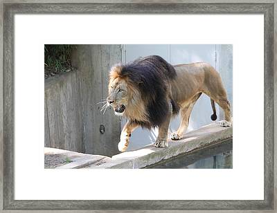 National Zoo - Lion - 01139 Framed Print