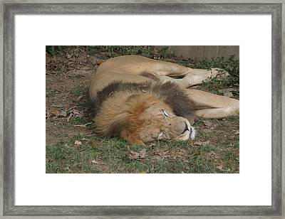 National Zoo - Lion - 12121 Framed Print by DC Photographer
