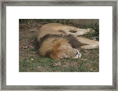 National Zoo - Lion - 12121 Framed Print
