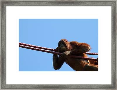 National Zoo - Orangutan - 011311 Framed Print by DC Photographer