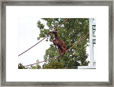 National Zoo - Orangutan - 01134 Framed Print by DC Photographer
