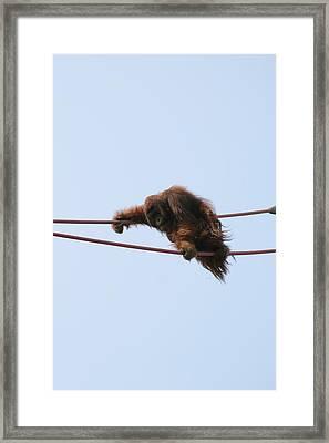 National Zoo - Orangutan - 121214 Framed Print by DC Photographer