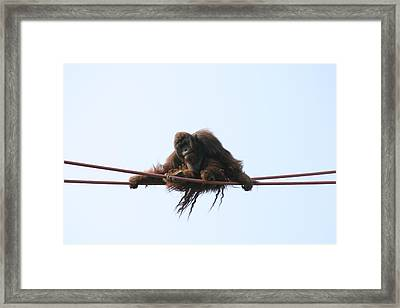 National Zoo - Orangutan - 121217 Framed Print