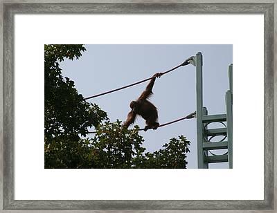 National Zoo - Orangutan - 12122 Framed Print by DC Photographer