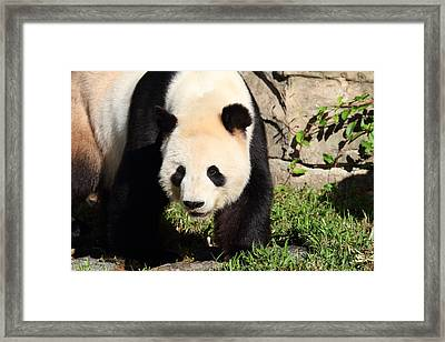 National Zoo - Panda - 011320 Framed Print by DC Photographer
