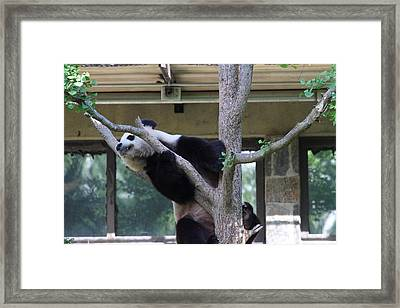 National Zoo - Panda - 011338 Framed Print by DC Photographer