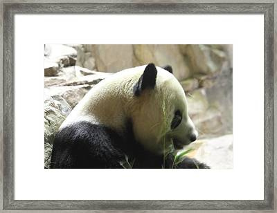 National Zoo - Panda - 01138 Framed Print by DC Photographer