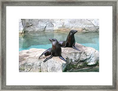 National Zoo - Sea Lion - 12126 Framed Print by DC Photographer