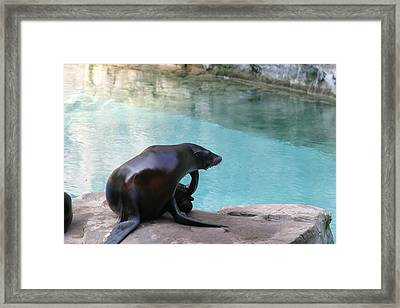National Zoo - Sea Lion - 12127 Framed Print by DC Photographer