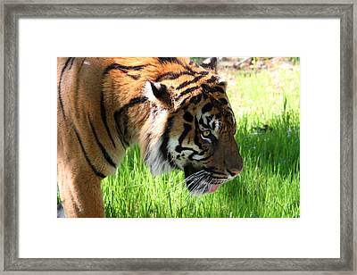 National Zoo - Tiger - 011321 Framed Print by DC Photographer