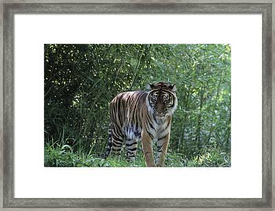 National Zoo - Tiger - 01133 Framed Print