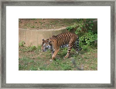 National Zoo - Tiger - 121212 Framed Print