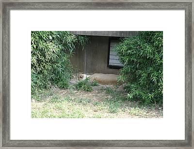 National Zoo - Tiger - 121215 Framed Print