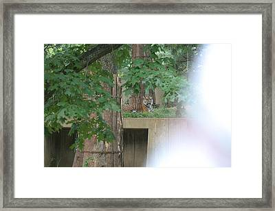 National Zoo - Tiger - 12129 Framed Print by DC Photographer