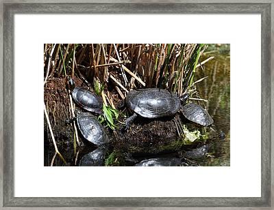 National Zoo - Turtle - 01138 Framed Print